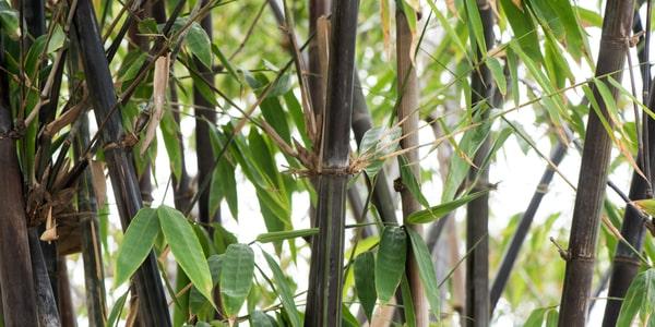 Comment intégrer le bambou dans un jardin ?